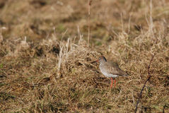 Redshank Stock Image