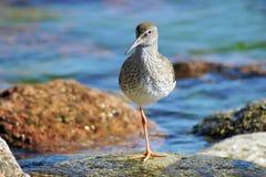 Redshank comum (totanus do Tringa) Fotografia de Stock