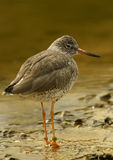 Redshank comum (totanus do Tringa) Fotografia de Stock Royalty Free
