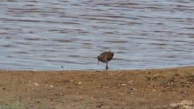 Redshank feeding on a lake side stock video