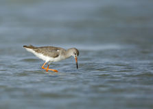 Redshank feeding during low tide Stock Photography