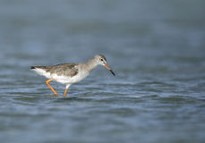 Redshank feeding during low tide Stock Photo