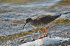 Redshank feeding on the shoreline Stock Images