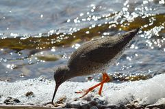 Redshank feeding on the shoreline Royalty Free Stock Image
