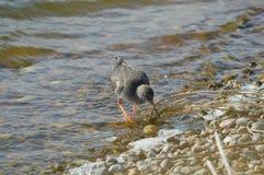 Redshank feeding on the shoreline Stock Photography