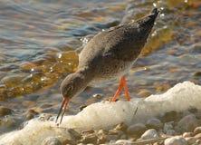 Redshank feeding on the shoreline Royalty Free Stock Photography