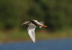 Redshank in flight. A Protected Area Poda is very good place to observe waders in migration time royalty free stock photography