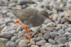 Redshank on the gravel beach. Royalty Free Stock Photo