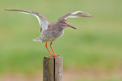 Redshank landing. Royalty Free Stock Photography