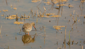 Redshank looking for food Royalty Free Stock Images
