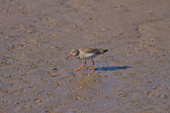 Redshank. A Redshank in non-breeding plumage, feeding in mud Stock Images