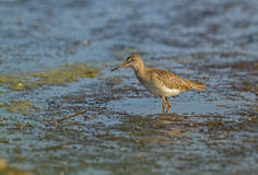 Redshank at PA Poda Royalty Free Stock Images