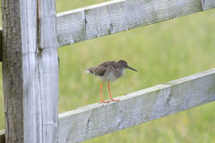 Redshank Perched On a Gate Stock Image