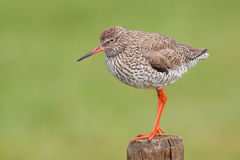 Redshank on a pole. Redshank on a pole in a meadowfield Royalty Free Stock Image