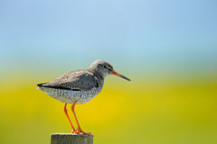 Redshank on a pole Royalty Free Stock Image