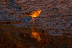 Redshank przy zmierzchem z odbiciem w Norfolk solankowym bagnie zdjęcia stock