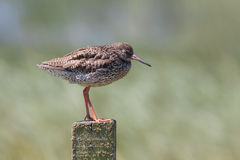 Redshank resting on a post Royalty Free Stock Photo