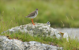 Redshank with Ringed Plover Stock Image