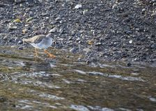 Redshank Royalty Free Stock Image