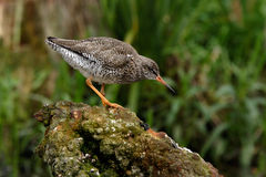 Redshank on a rock. A Redshank poised on a rock in Norfolk, England Stock Image