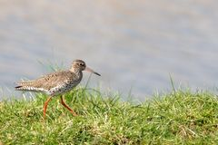 Redshank runs on a dike in the polder Stock Photography