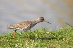 Redshank runs on a dike in the polder Royalty Free Stock Photo