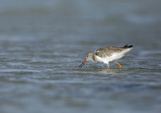 Redshank searching food during low tide Royalty Free Stock Photos