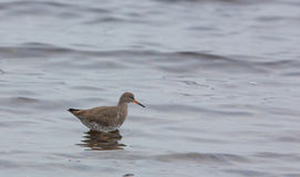 Redshank in shallow waters Royalty Free Stock Photography