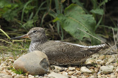 Redshank on shingle Stock Photography