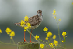 Redshank Royalty Free Stock Photo