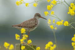 Redshank Stock Photos