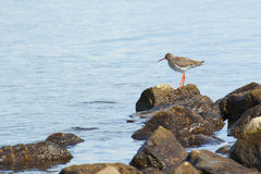 Redshank standing on a rock in the water looking o Royalty Free Stock Photography