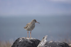 Redshank standing on a tyre. A redshank in Iceland, beak in profile, standing on a tyre Royalty Free Stock Image