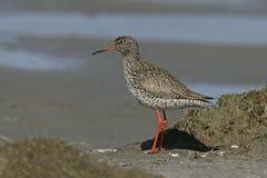 Redshank, totanus do Tringa fotos de stock