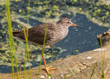 Redshank (Tringa totanus) Royalty Free Stock Photography