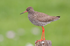 Redshank (Tringa totanus). Redshank (Tringa totanus) on a pole Royalty Free Stock Photo