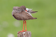 Redshank (Tringa totanus) Royalty Free Stock Photos