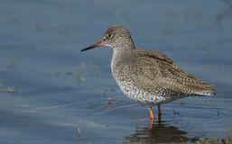 A beautiful Redshank Tringa totanus hunting for food in a shallow pool of water in a grassy field. A Redshank Tringa totanus hunting for food in a shallow pool Royalty Free Stock Image