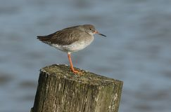 A stunning Redshank Tringa totanus perched on a post at the seaside at high tide. A Redshank Tringa totanus perched on a post at the seaside at high tide Stock Image