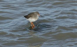 A stunning Redshank Tringa totanus perched on a submerged wooden post in the sea at high tide. A Redshank Tringa totanus perched on a submerged wooden post in Stock Image