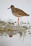 Redshank, Tringa totanus Royalty Free Stock Images