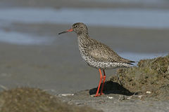 Redshank, Tringa totanus Stock Photos
