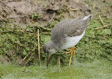 Redshank Stock Photography