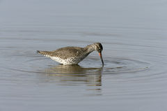 Redshank, Tringa totanus, Stock Photography
