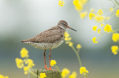 Redshank (Tringa totanus) Stock Photos