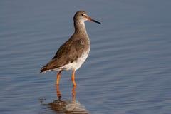 Redshank - Tringatotanus Arkivfoto