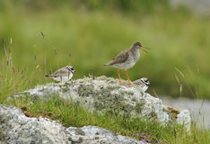 Redshank with two Ringed Plovers Stock Photography