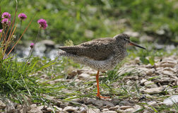 Redshank Wader bird Royalty Free Stock Image