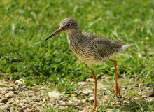 Redshank Stock Photo