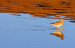 Redshank. Walking across tidal pool of water on sea shore sands on sunny day showing vivid reflection Royalty Free Stock Image